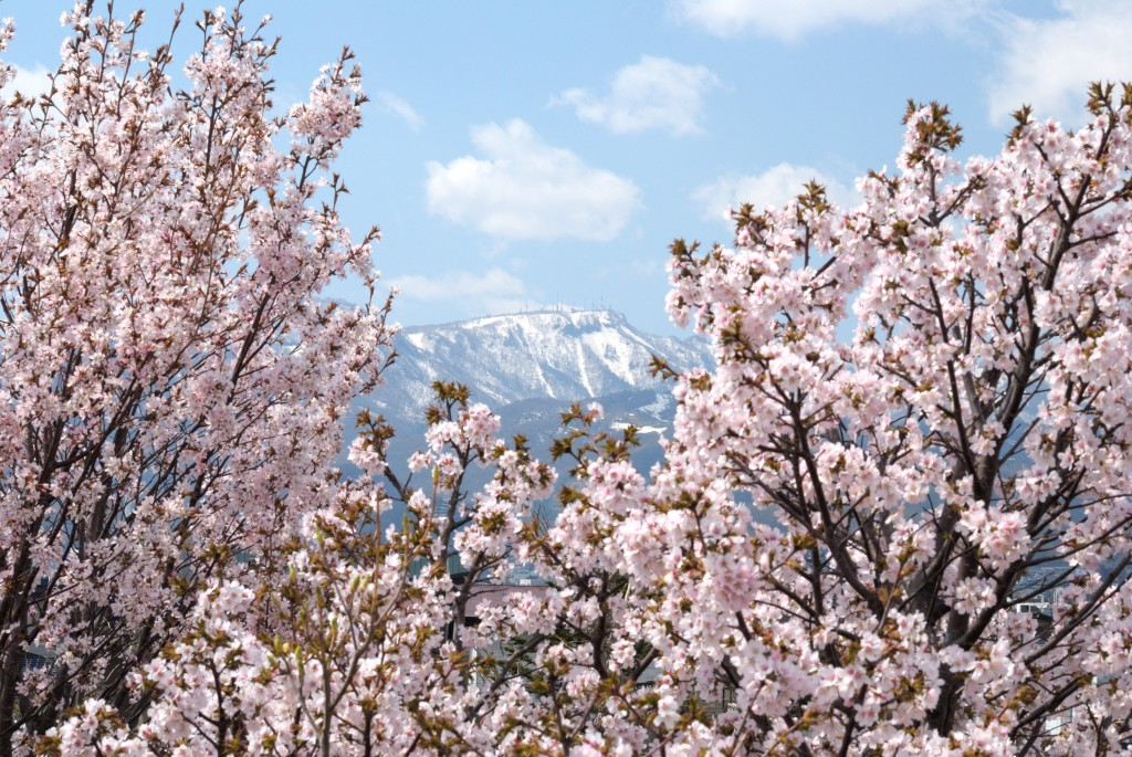 中の川左岸の桜