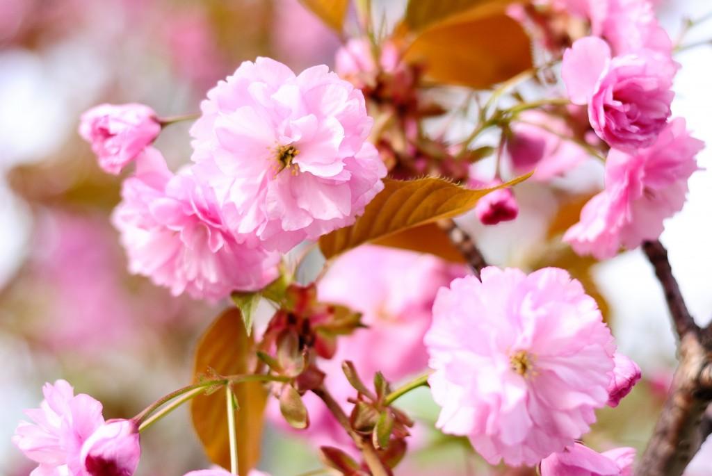 新川の八重桜